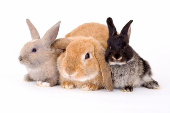 4-H Rabbit Club